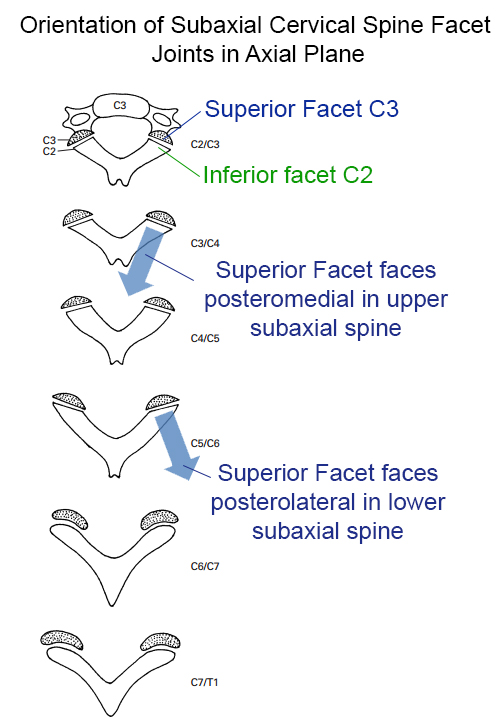 Facet Anatomy Definition Of Facet Anatomy By The