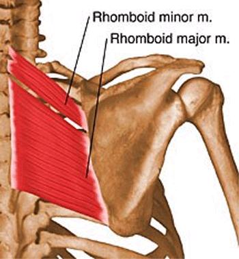 http://upload.orthobullets.com/topic/10005/images/rhomboids_moved.jpg