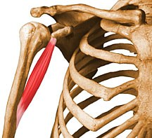 http://upload.orthobullets.com/topic/10011/images/coracobrachialis.jpg