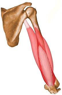 http://upload.orthobullets.com/topic/10020/images/triceps-brachii.jpg
