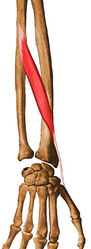 http://upload.orthobullets.com/topic/10036/images/abductor-pollicis-longus.jpg
