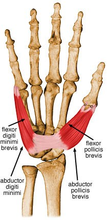http://upload.orthobullets.com/topic/10042/images/abductor-pollicis-brevis.jpg
