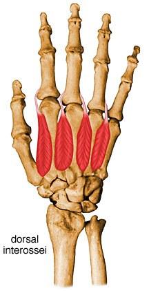 http://upload.orthobullets.com/topic/10049/images/interosseous-muscles-dorsal.jpg