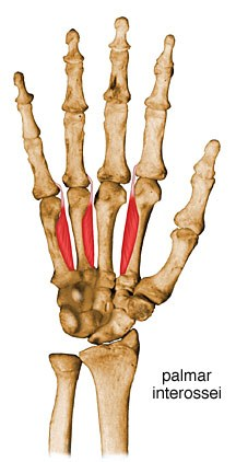 http://upload.orthobullets.com/topic/10050/images/interosseous-muscles-palmar.jpg
