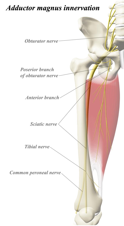 Adductor magnus anatomy