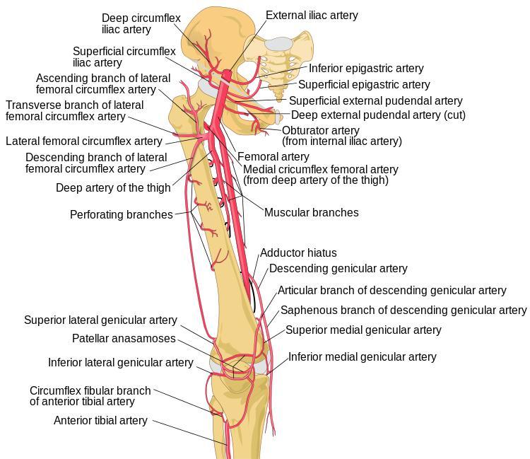 Medial Circumflex Femoral Artery Adductor magnus - Anat...
