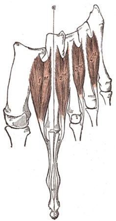 http://upload.orthobullets.com/topic/10101/images/dorsal inteross.jpg