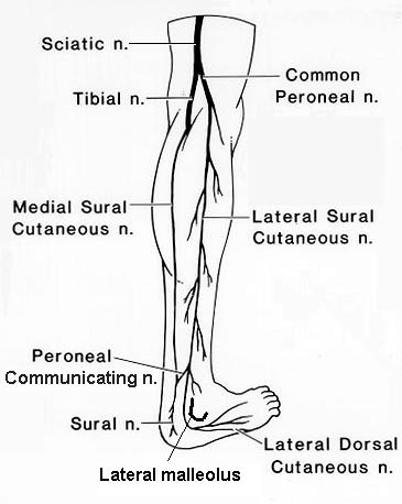 Sural Nerve Anatomy Orthobullets
