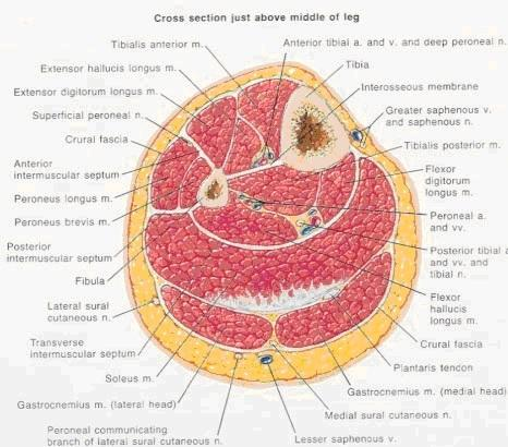 http://upload.orthobullets.com/topic/12035/images/cross-section-just-above-middle-of-leg-12.jpg