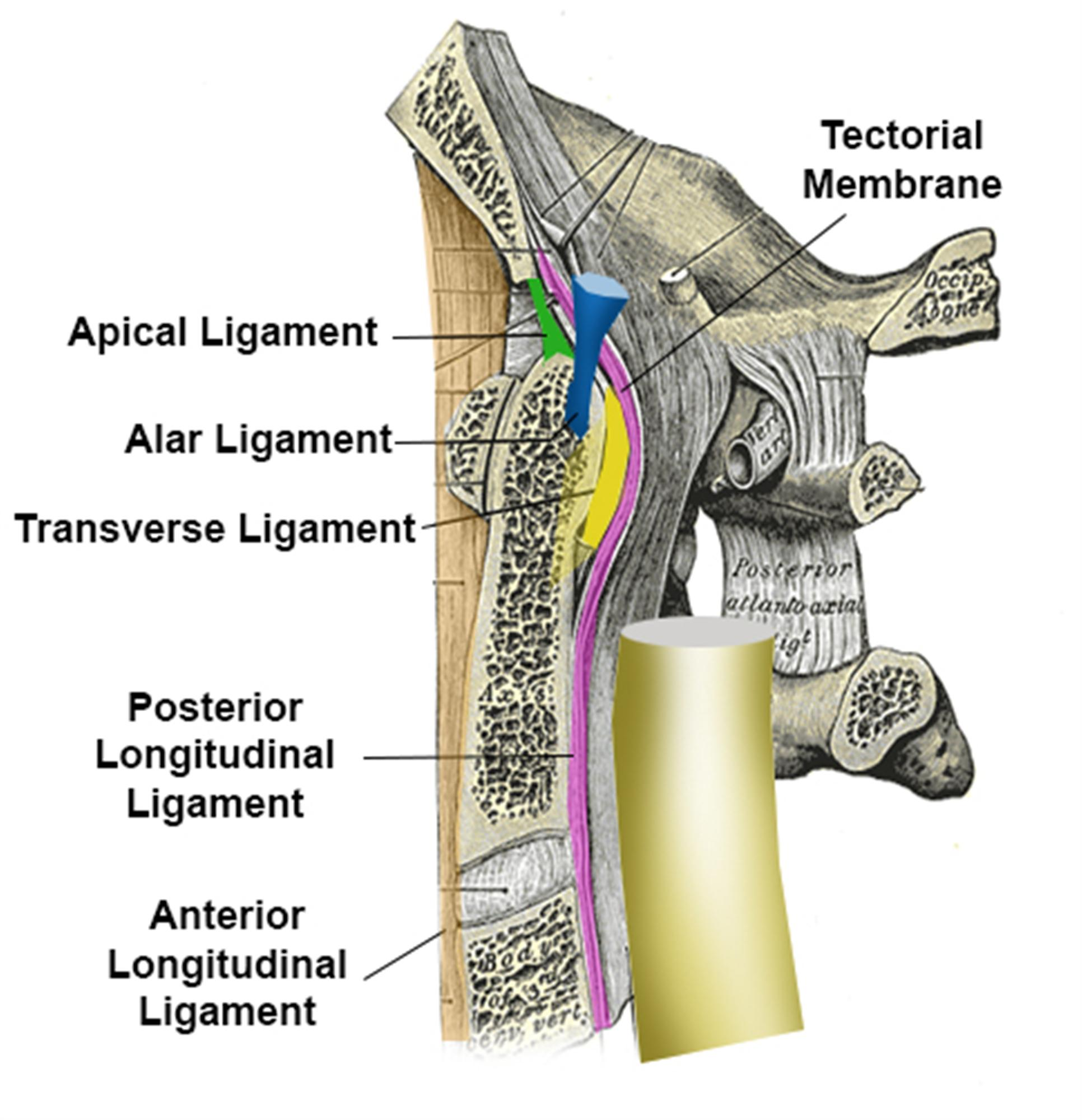 Apical ligament