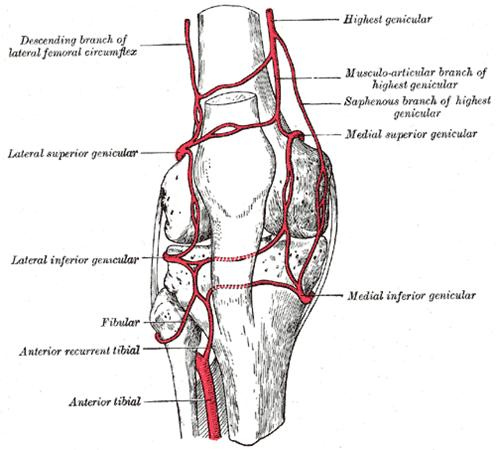 http://upload.orthobullets.com/topic/3011/images/blood supply to the knee.jpg