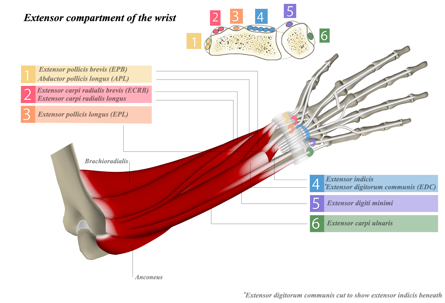 Extensor Compartments of Wrist - Anatomy - Medbullets Step 1