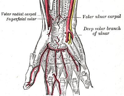 Blood Supply to Hand - Hand - Orthobullets.com