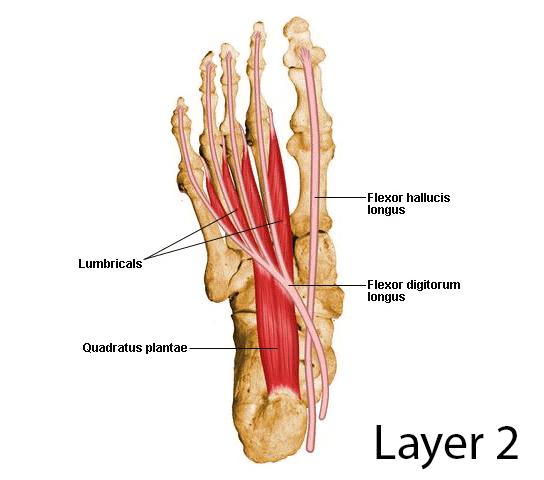 flexor digitorum longus (s2) - anatomy - orthobullets, Cephalic Vein
