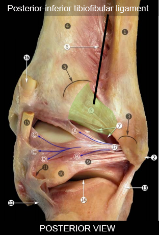 http://upload.orthobullets.com/topic/7005/images/posterior-inferior_tibiofibular_ligament_(pitfl).jpg