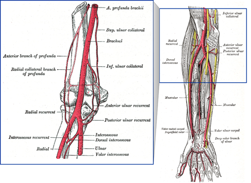 Forearm blood supply - Anatomy - Orthobullets