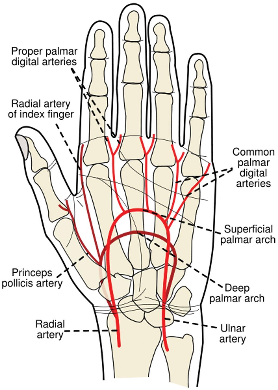 Abductor Digiti Minimi - Anatomy
