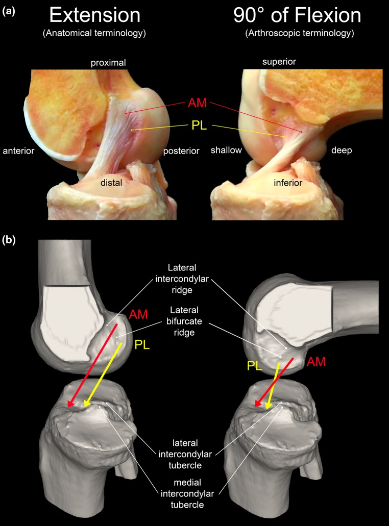 what is an acl The acl is the smallest of the four main ligaments of the knee and is the primary stabilizer acl stands for the anterior cruciate ligament the others are the posterior cruciate ligament and the lateral and medial collateral ligaments.