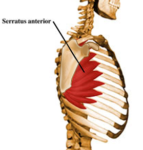 https://upload.orthobullets.com/topic/10002/images/serratus.jpg