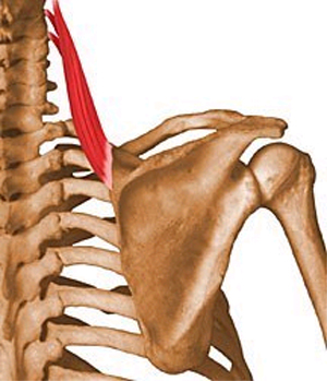 https://upload.orthobullets.com/topic/10003/images/levator scapulae.jpg