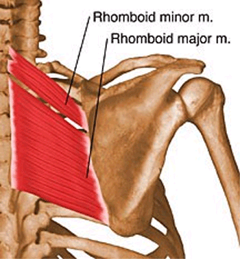 rhomboid minor and major anatomy orthobullets