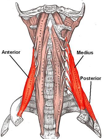 Scalene - Anatomy - Orthobullets