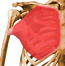 https://upload.orthobullets.com/topic/10008/images/pectoralis-major.jpg