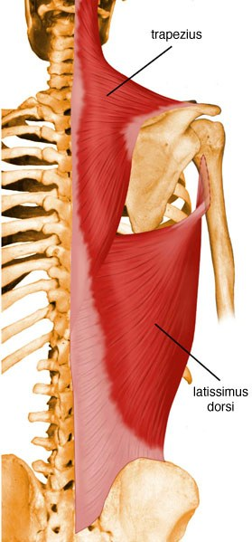 https://upload.orthobullets.com/topic/10010/images/latissimus-dorsi.jpg