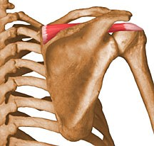 https://upload.orthobullets.com/topic/10013/images/supraspinatus.jpg