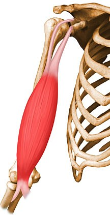Biceps Brachii - Anatomy - Orthobullets