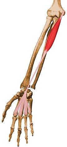 https://upload.orthobullets.com/topic/10023/images/palmaris-longus.jpg