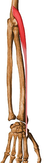https://upload.orthobullets.com/topic/10030/images/extensor-carpi-radialis-longus.jpg