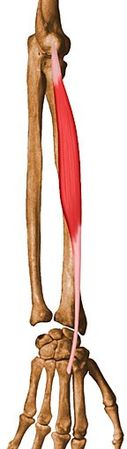 https://upload.orthobullets.com/topic/10031/images/extensor-carpi-radialis-brevis.jpg