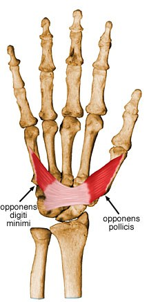 https://upload.orthobullets.com/topic/10041/images/opponens-pollicis.jpg