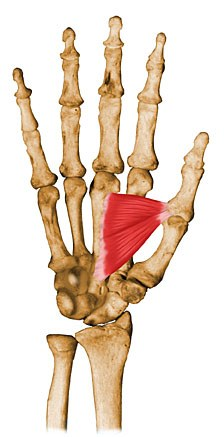 https://upload.orthobullets.com/topic/10044/images/adductor-pollicis.jpg