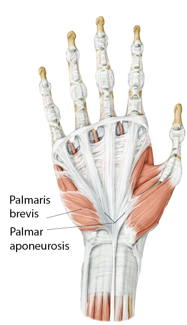 https://upload.orthobullets.com/topic/10045/images/palmaris_brevis.jpg