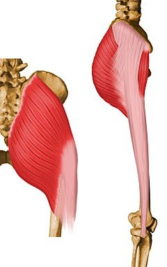 https://upload.orthobullets.com/topic/10061/images/gluteus maximus.jpg