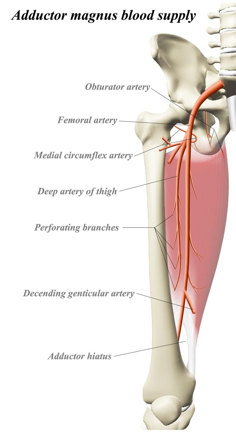 Adductor Magnus Anatomy Orthobullets