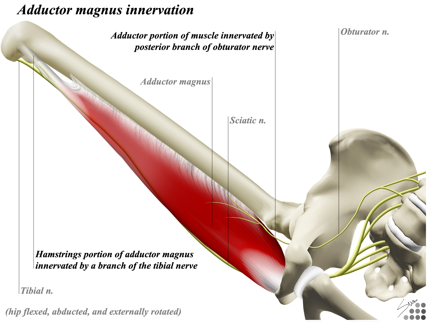 Adductor magnus - Anatomy - Orthobullets