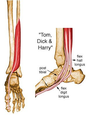 https://upload.orthobullets.com/topic/10091/images/flexor-hallucis-longus.jpg
