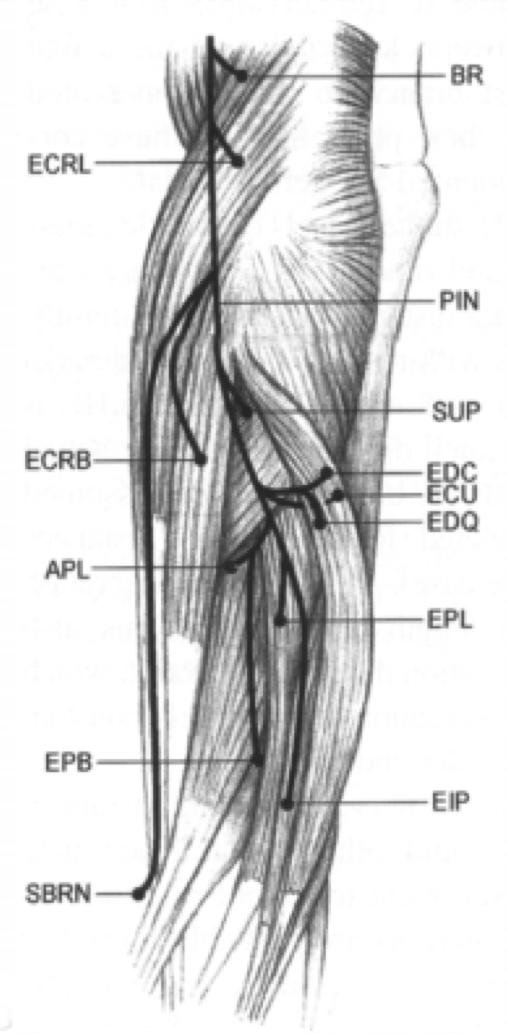 Radial Nerve Anatomy Orthobullets
