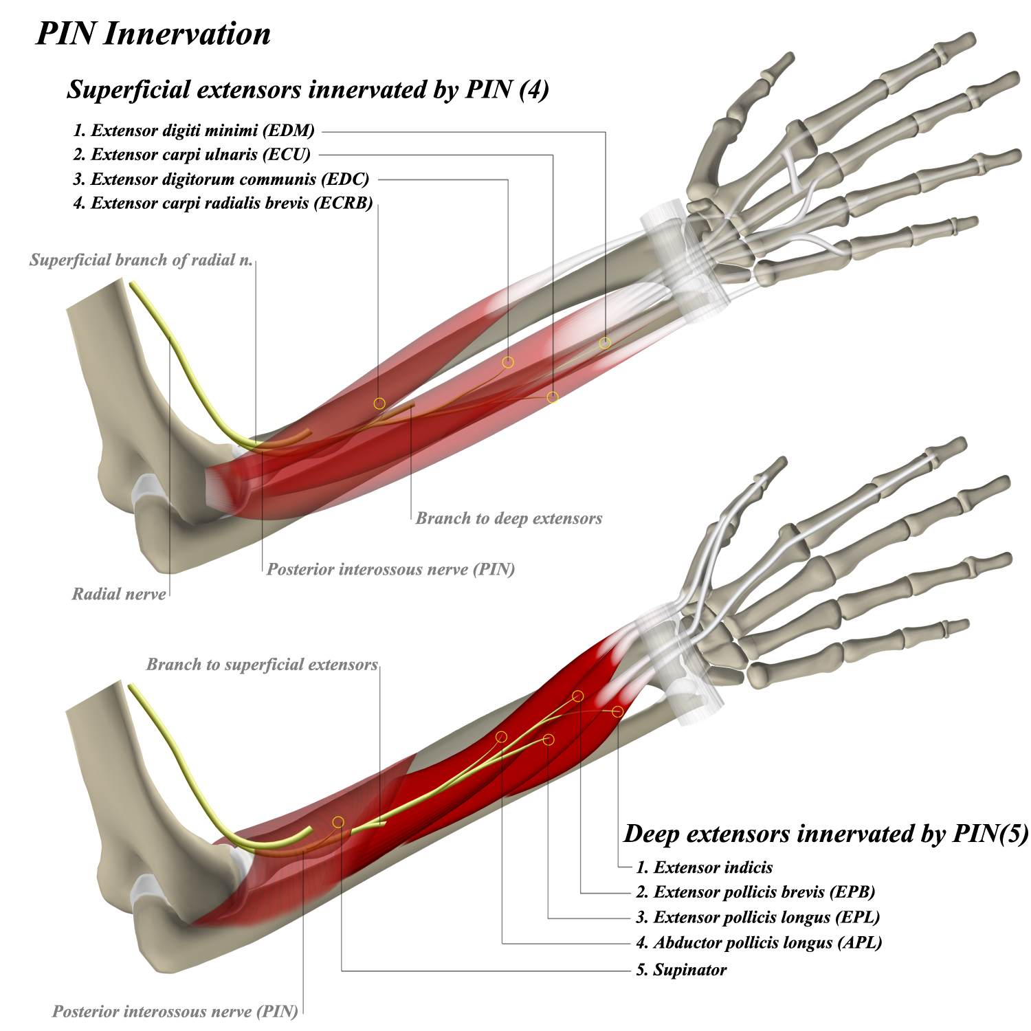 Posterior Interosseous Nerve - Anatomy - Orthobullets