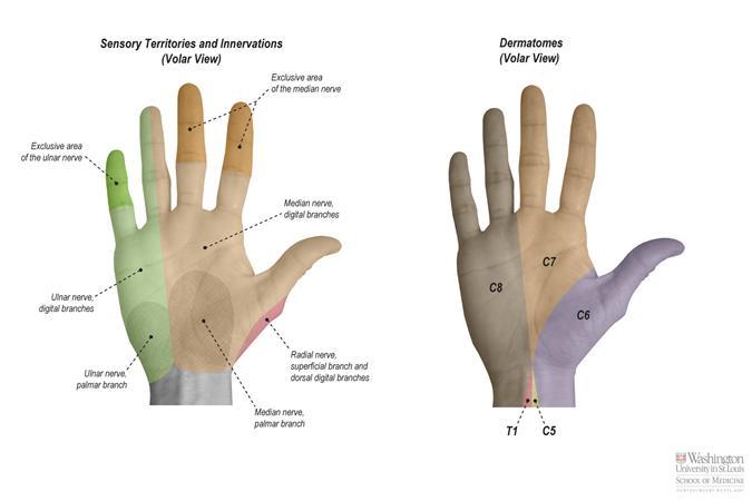 Superficial Radial Nerve Anatomy Orthobullets