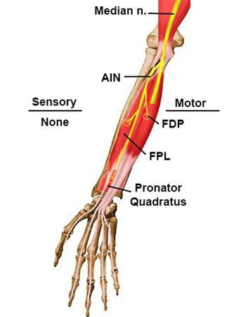 Anterior Interosseous Nerve Anatomy Orthobullets