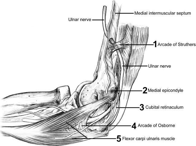 Ulnar Nerve Anatomy Orthobullets