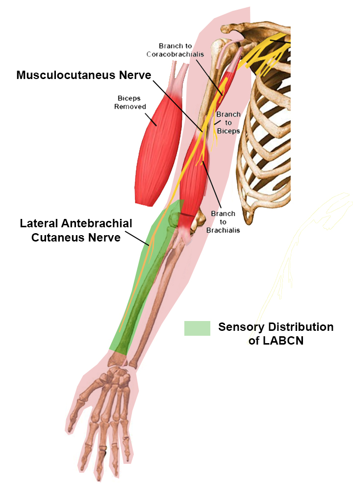 Lateral antebrachial cut. nerve - Anatomy - Orthobullets