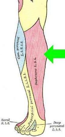 Femoral nerve - Anatomy - Orthobullets