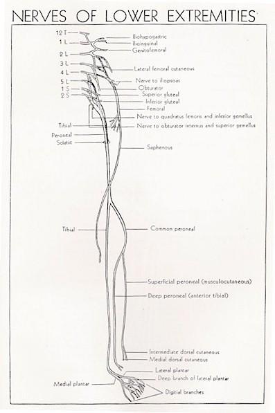 sciatic nerve - anatomy