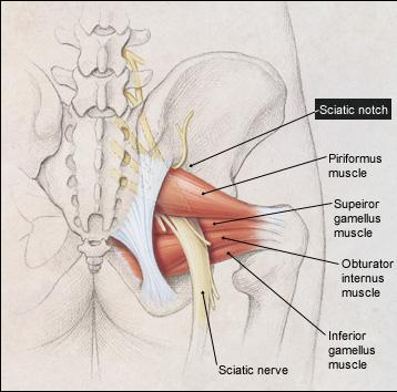 Sciatic nerve - Anatomy - Orthobullets