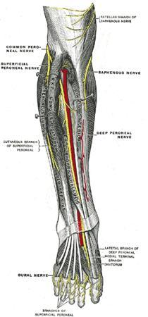 Deep Peroneal Nerve - Anatomy - Orthobullets